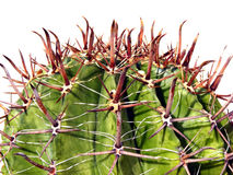 Cactus. Adult plant with large spines isolated on a white background Stock Images