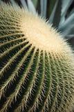 Cactus. Golden Barrel Cactus - Echinocactus grusonii Cactaceae, macro stock images