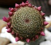 Cactus Royalty-vrije Stock Fotografie