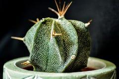 Cactus Stock Fotografie