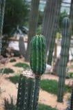 Cactus acolumnado Fotos de archivo libres de regalías