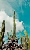 Cactus acolumnado gigante del cirio foto de archivo libre de regalías
