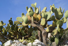 Cactus against blue sky Royalty Free Stock Images