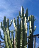 Cactus against blue sky Stock Image