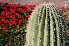 Cactus against red blooming bush Royalty Free Stock Images