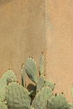 Cactus Against Wall. Prickly Pear Cactus Against a Wall in Vertical Format Royalty Free Stock Photography