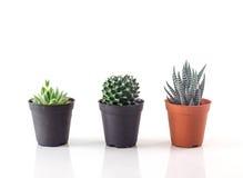Cactus against white background Stock Photo
