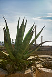 Cactus agave in Carthage in the ruins of the old town, Tunisia Royalty Free Stock Image