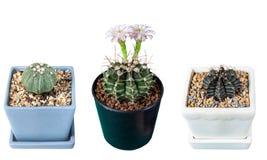 Cactus aislado en el fondo blanco Foto de archivo