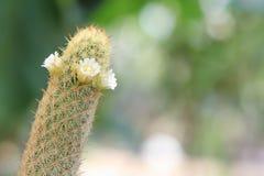 Cactus alargado del Mammillaria con las flores blancas Fotos de archivo