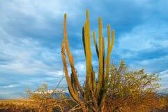 Cactus all'indicatore luminoso di primo mattino Immagini Stock Libere da Diritti