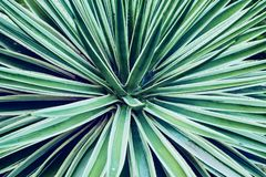 Cactus aloe vera closeup. Natural floral background. The concept of natural geometry. Cactus aloe vera closeup. Natural natural background. The concept of stock photos