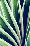 Cactus aloe vera closeup. Natural floral background. The concept of natural geometry royalty free stock photos