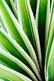 Cactus aloe vera closeup. Natural natural background. The concept of natural geometry stock images