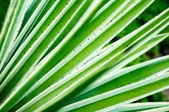 Cactus aloe vera closeup. Natural natural background. The concept of natural geometry stock photography