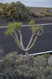 Cactus alongside the road in Tenerife Stock Photos