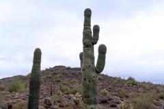 Cactus alto del Saguaro con la montaña en fondo Fotografía de archivo libre de regalías