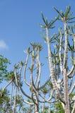 Cactus alto e impresionante del candelabro en Angola Imágenes de archivo libres de regalías
