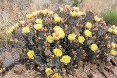 Cactus amarillo de la placa en curva grande imagen de archivo