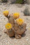 Cactus amarillo del arco iris fotos de archivo
