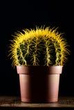 Cactus amarillo en pote marrón Fotografía de archivo