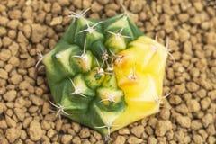 Cactus amarillo y verde hermoso en un pote Foto de archivo