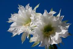 Cactus amazing white flower closeup Stock Image