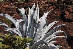 Cactus americana d'agave Photos libres de droits