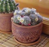 Cactus  Мammilaria Royalty Free Stock Photo