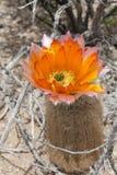 Cactus anaranjado del arco iris foto de archivo