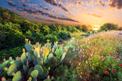 Cactus And Wildflowers At Sunset Stock Image