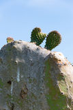 Cactus in andalusia. Buds on fig cactus in andalusia, spain Stock Photography