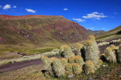 Cactus in the andean mountains. Of Peru stock images