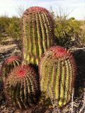 Cactus antichissimo Fotografie Stock
