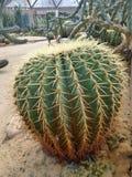 Cactus appuntiti in cupola geodetica nel parco del Ram IX di Suan Luang Phra Fotografie Stock Libere da Diritti