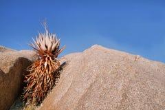 Cactus arancio curioso Fotografia Stock Libera da Diritti