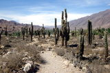 Cactus in Argentina. Cactus field at ancient indigenous ruins in Tilcara canyon, Department of Jujuy, Argentina, South America Royalty Free Stock Image