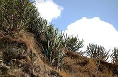 Cactus on Arid Rocky Ridge Royalty Free Stock Image