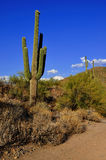 Cactus of Arizona. Saguaro cactus in Arizona desert stock photography