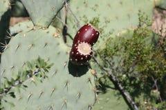Cactus in Arizona Fotografie Stock Libere da Diritti