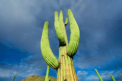 Cactus in the Arizona Stock Photography