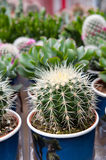 Cactus assortment Royalty Free Stock Photo