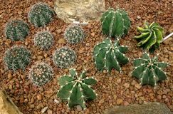 Cactus, Astrophytum capricorne Royalty Free Stock Photos