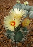 Cactus, Astrophytum capricorne Royalty Free Stock Photography