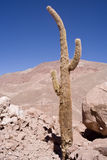 Cactus at atacama Stock Photography