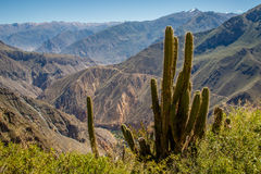 Cactus au bord de canyon de Colca, Pérou Photo stock