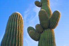 Cactus au coucher du soleil, Arizona Photos libres de droits