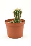 Cactus au-dessus de blanc photographie stock libre de droits