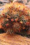 Cactus avec des fleurs Photos stock