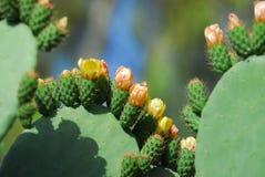 Cactus avec la fleur Image libre de droits